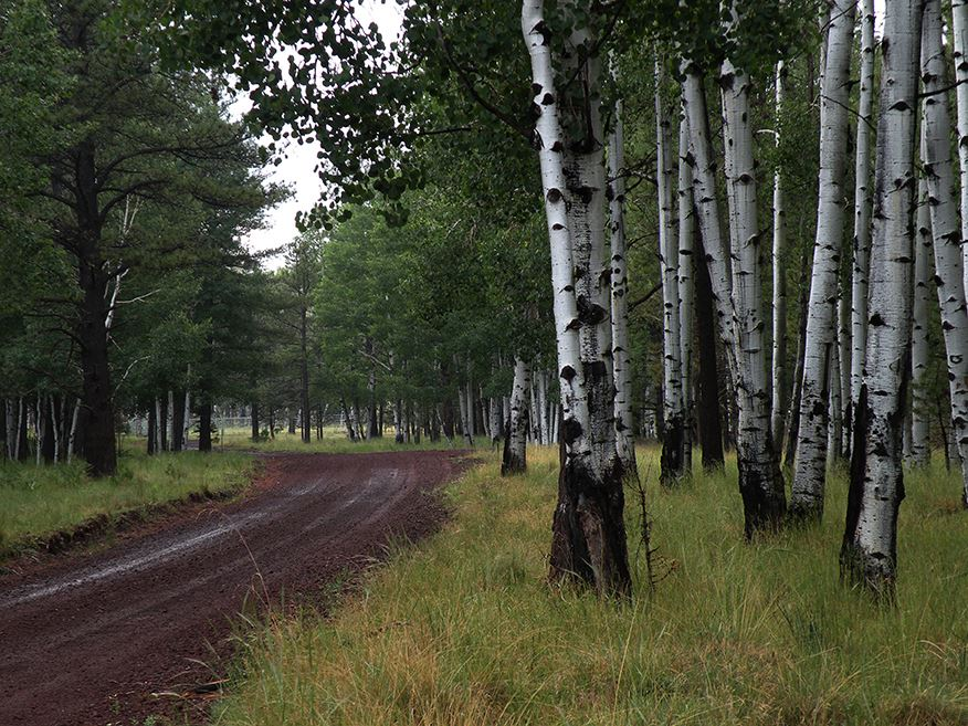 Muddy Dirt Road Flanked by Tall Trees